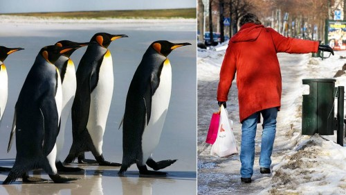 pingvin gaa som en